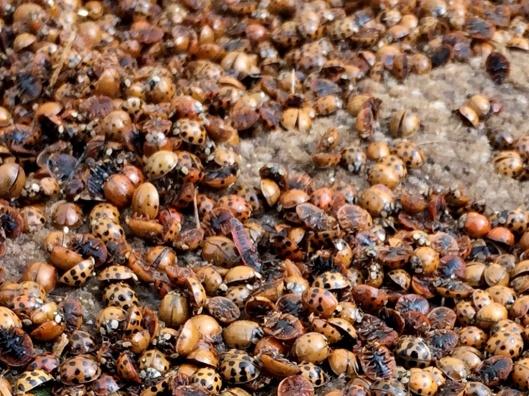 coccinelle-asiatique-accumulation-cadavres-va